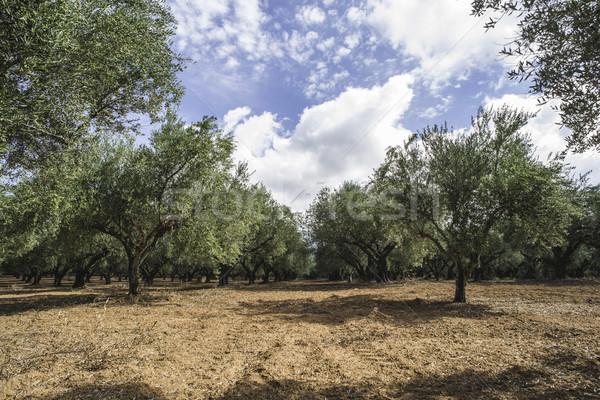 Olijfolie bomen plantage agrarisch grond achtergrond Stockfoto © deyangeorgiev