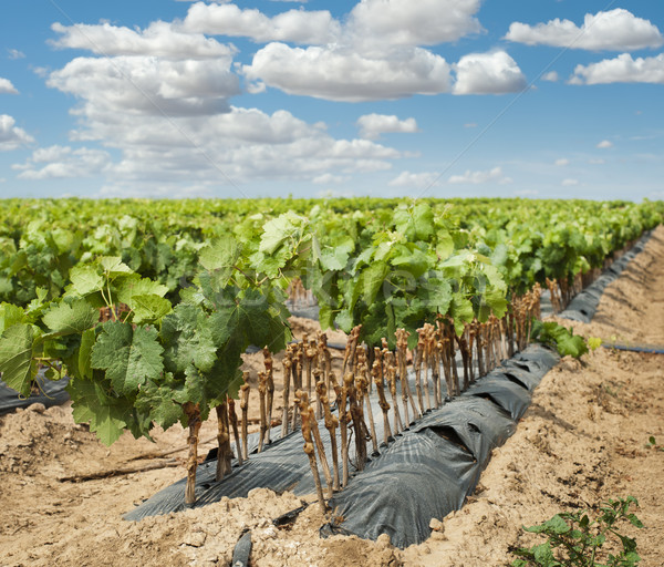 Young Vineyards in rows. Stock photo © deyangeorgiev