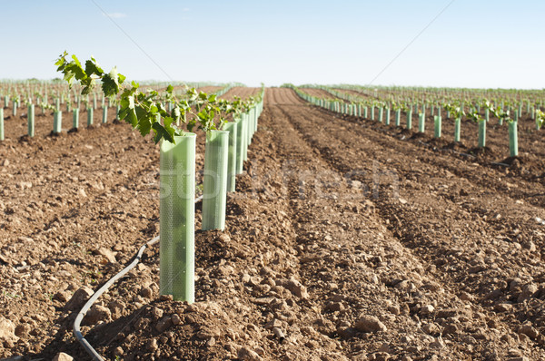 Newly planted vineyards Stock photo © deyangeorgiev