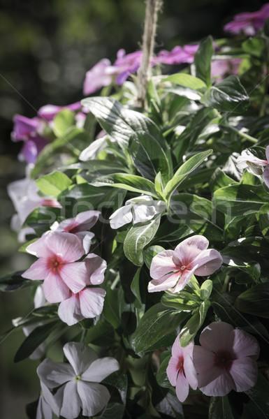 Flowers hanging pot Stock photo © deyangeorgiev