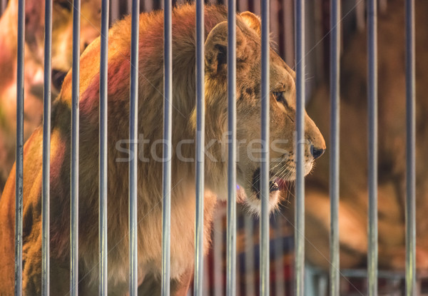 Lion in circus Stock photo © deyangeorgiev