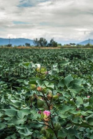 Blooming cotton Stock photo © deyangeorgiev