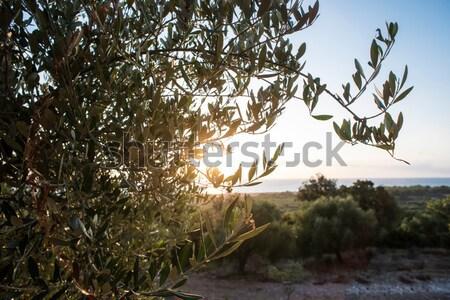 Olijfboom strand blauwe hemel water zee achtergrond Stockfoto © deyangeorgiev