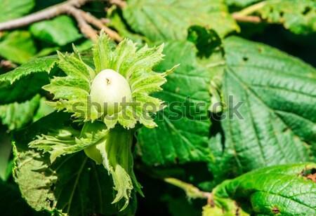 Branch with hazelnuts Stock photo © deyangeorgiev