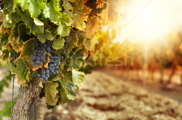 Vineyards at sunset Imagine de stoc © deyangeorgiev