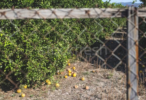 Laranja árvores plantação agricultura Grécia fruto Foto stock © deyangeorgiev