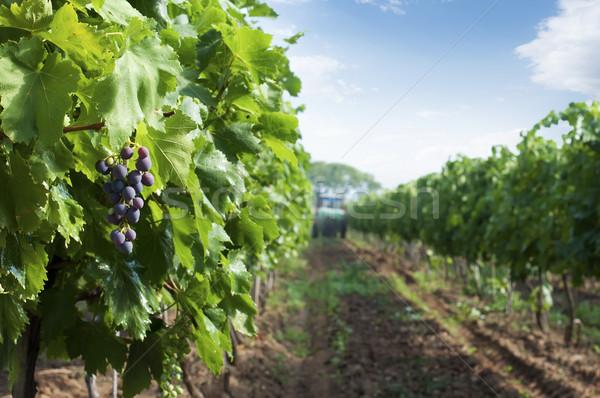 Spraying of vineyards Stock photo © deyangeorgiev