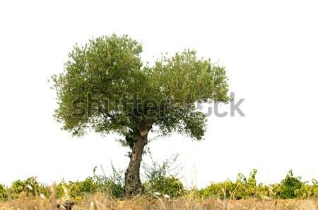 Olijfboom witte grond geïsoleerd hemel boom Stockfoto © deyangeorgiev