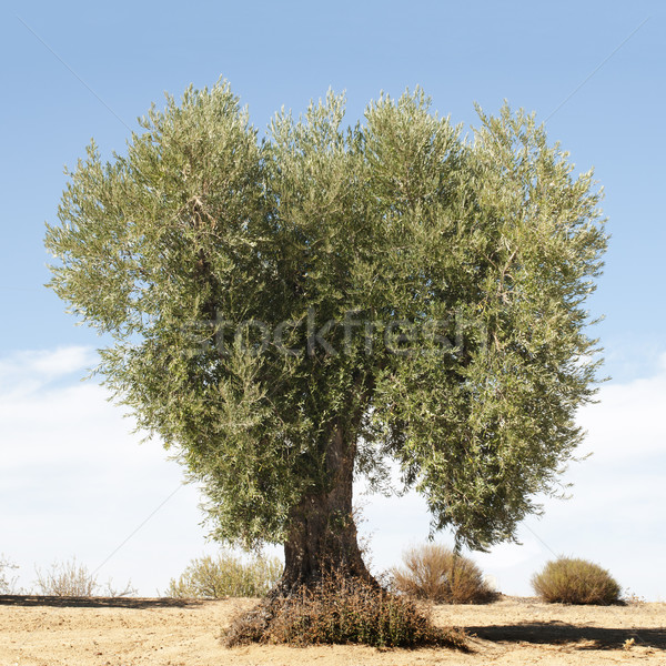 Olive tree Stock photo © deyangeorgiev