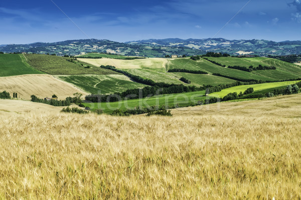 Cereal crops and farm in Tuscany Stock photo © deyangeorgiev