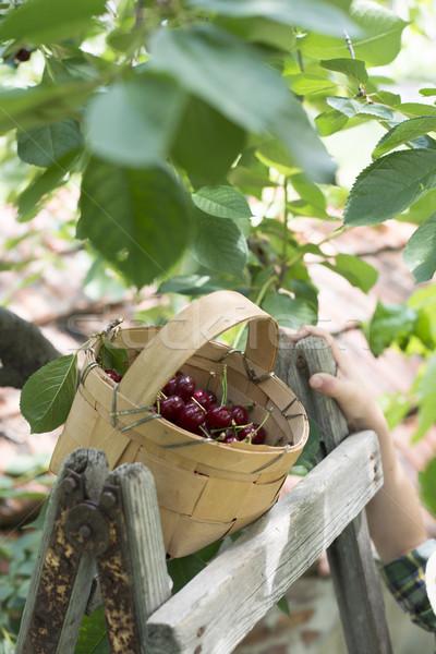 Nino cosecha cerezas árbol nina mano Foto stock © deyangeorgiev