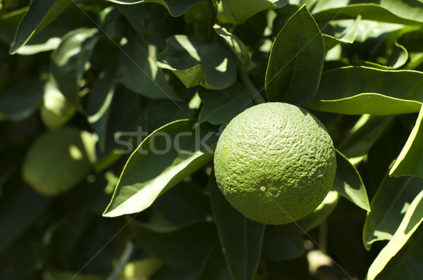 Green unripe orange fruit Stock photo © deyangeorgiev