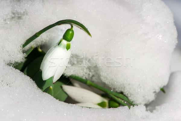 Snowdrop flower in a snow Stock photo © deyangeorgiev