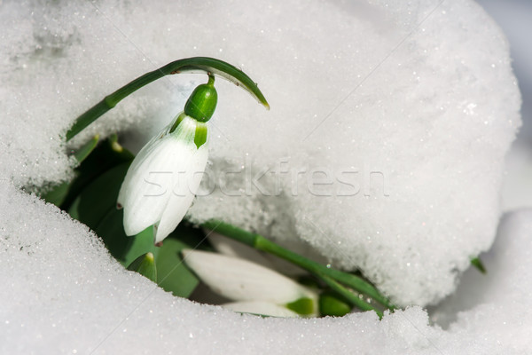 Fiore neve macro shot primavera Foto d'archivio © deyangeorgiev