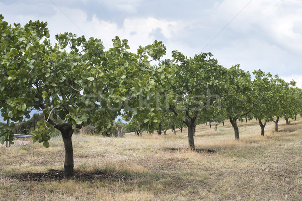 pistache arbres gr ce plantation fond t photo stock deyan georgiev. Black Bedroom Furniture Sets. Home Design Ideas