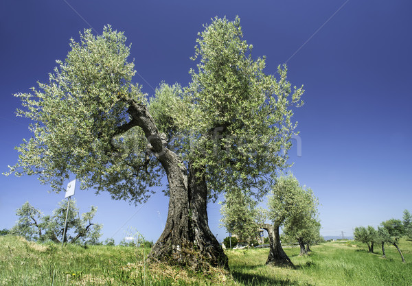 Olive tree in Italy Stock photo © deyangeorgiev