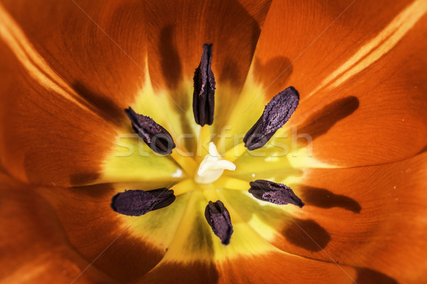 Flower tulip stamens Stock photo © deyangeorgiev