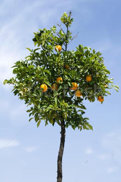 Narancsfa gyümölcsök fa tavasz levél gyümölcs Stock fotó © deyangeorgiev