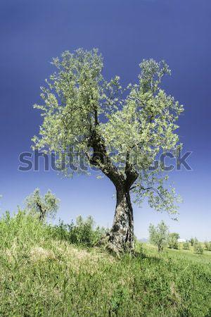 Olijfboom Italië Toscane gras natuur vruchten Stockfoto © deyangeorgiev