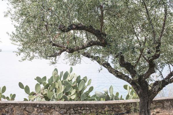 Olive tree on the beach Stock photo © deyangeorgiev