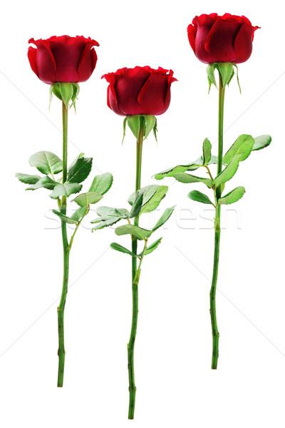 Vörös rózsák izolált fehér virág rózsa zöld Stock fotó © dezign56