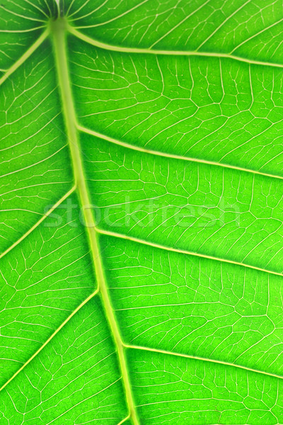 Close up image of green leaf Stock photo © dezign56