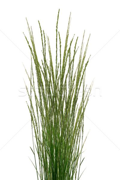 Tropical Grass Stalks  Stock photo © dezign56