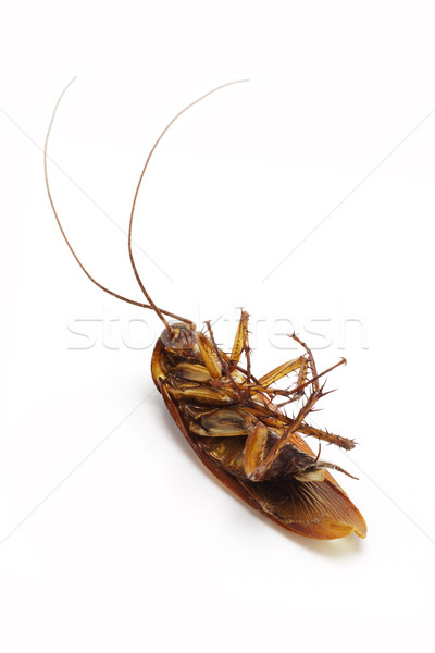 ölü hamamböceği uzun doku siyah kafa Stok fotoğraf © dezign56