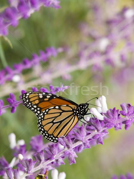 Stock fotó pillangó lila virág nektár virágok Stock fotó © dgilder