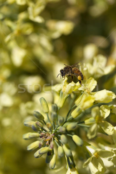 Foto stock: Europeu · mel · de · abelha · estoque · foto · néctar · amarelo