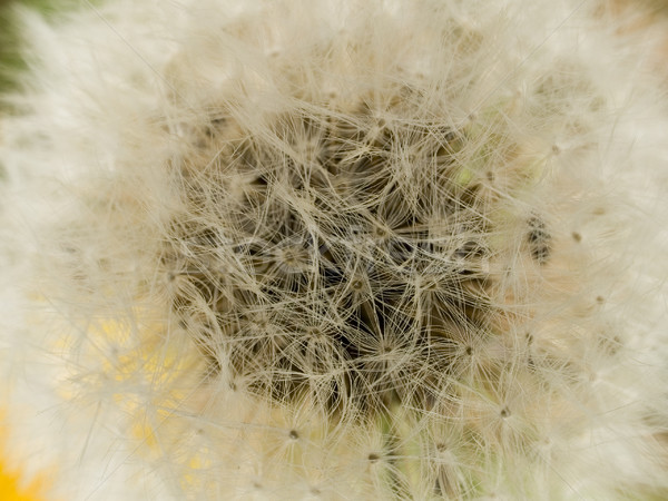 macro texture - plants - dandelion Stock photo © dgilder