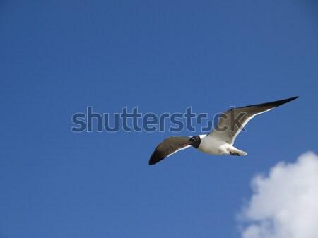 cruising seagull Stock photo © dgilder
