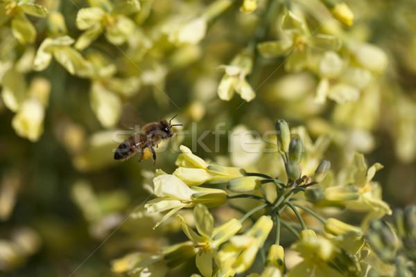 европейский пчелиного меда складе фото новых цветок Сток-фото © dgilder