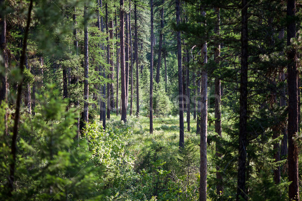 Dense Piney Woods Stock photo © dgilder