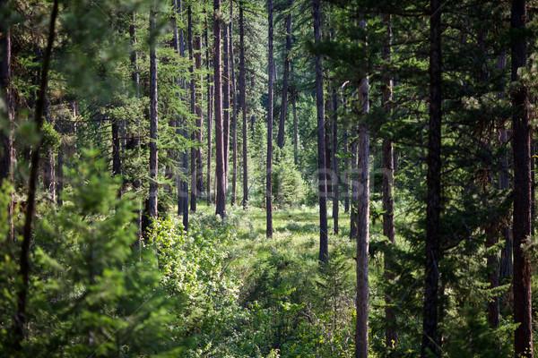 Sűrű erdő késő délután erdő Stock fotó © dgilder