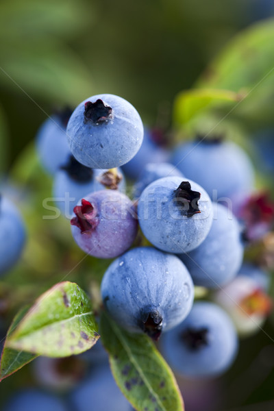 Closeup of wild blueberries growing in a field. Stock photo © dgilder