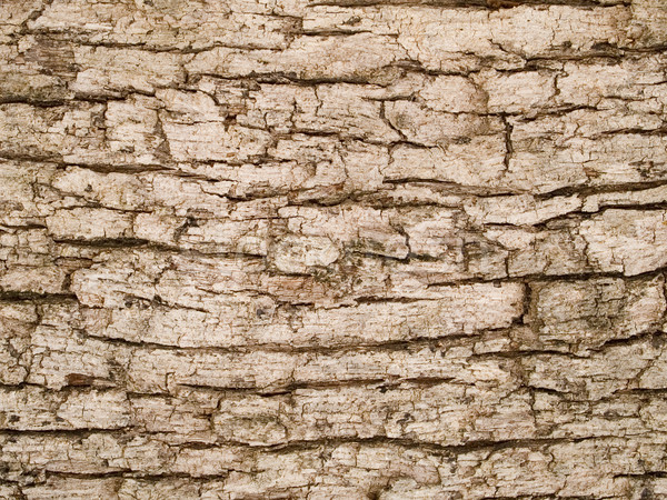 macro texture - wood - tree bark Stock photo © dgilder