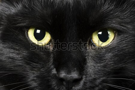 black cat Stock photo © diego_cervo