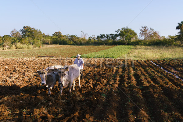 Stock photo: Man Farmer At Work Ploughing The Soil With Ox