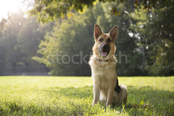 young purebreed alsatian dog in park Stock photo © diego_cervo