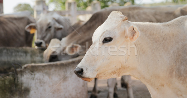 Cows In Farm Livestock In Ranch Country Life Stock photo © diego_cervo