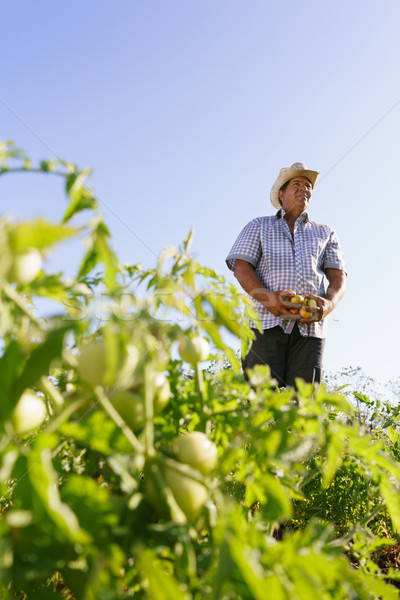 Portrait Man Farmer Harvesting Tomato Field Looking Away Stock photo © diego_cervo