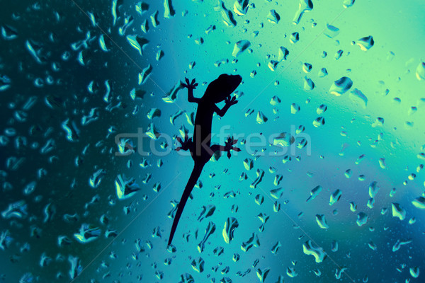 Gecko On Glass Window Wet With Rain Drops Stock photo © diego_cervo