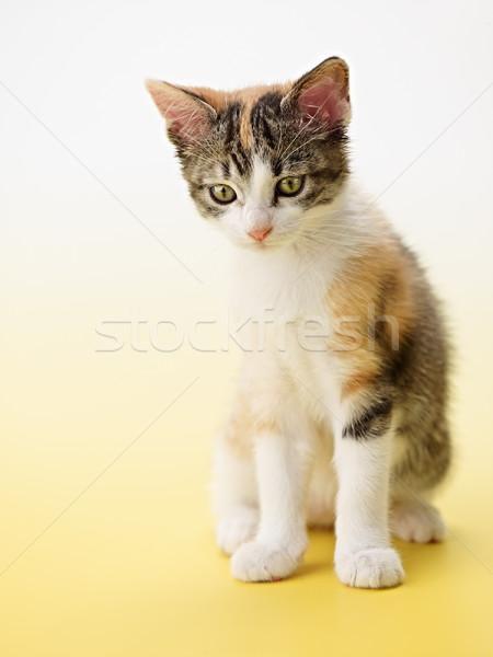 Macska citromsárga trikolor női kiscica függőleges Stock fotó © diego_cervo