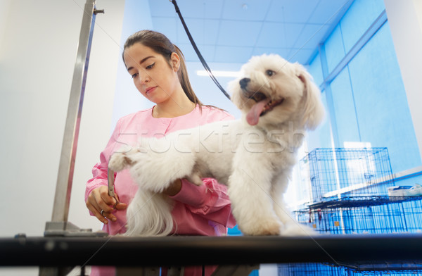 Girl At Work In Pet Store And Grooming Dog Stock photo © diego_cervo