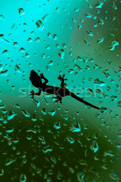 Gecko Climbing On Wet House Glass Window Stock photo © diego_cervo