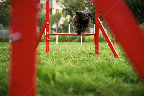 Pet running, agility race with dog jumping over hurdle Stock photo © diego_cervo