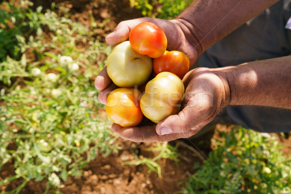 Adam çiftçi domates alan sebze Stok fotoğraf © diego_cervo