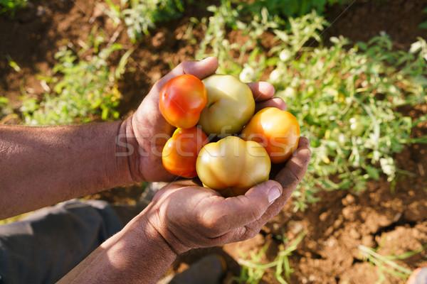 Adam çiftçi çalışmak domates eller Stok fotoğraf © diego_cervo