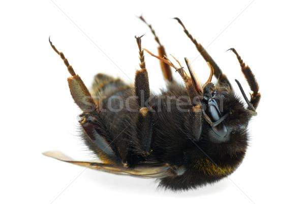 死んだ マルハナバチ 孤立した 白 黒 蜂 ストックフォト © digitalr